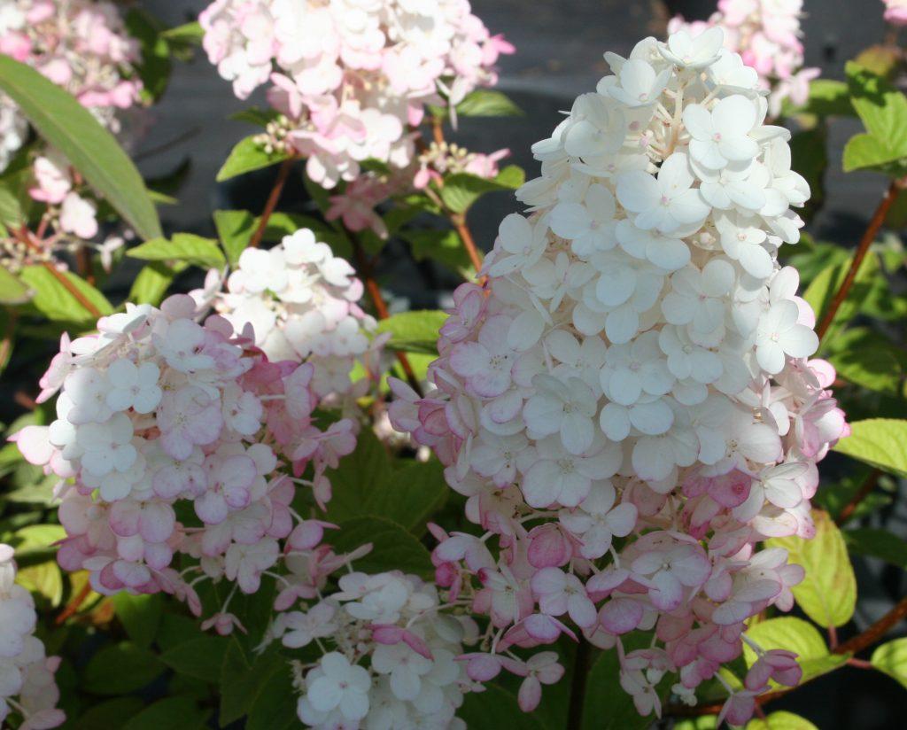 Hydrangea paniculata \'Sundae Fraise\' – Planet Plants