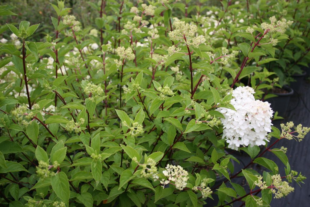 hydrangea paniculata vanille fraise planet plants. Black Bedroom Furniture Sets. Home Design Ideas
