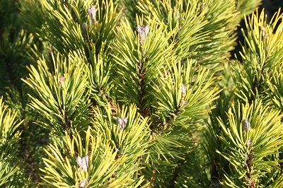 Pinus mugo 'Winter Gold'
