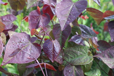 Cercis Canadensis 'Red Force'